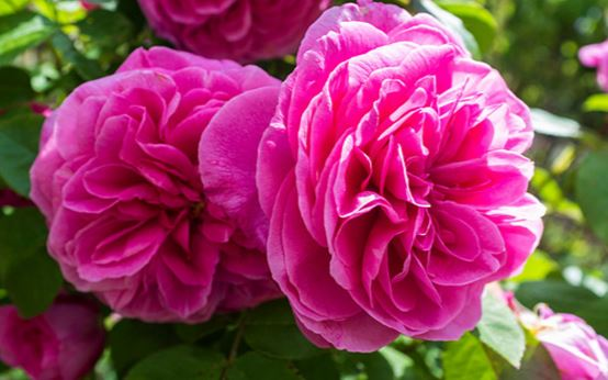 pruned roses